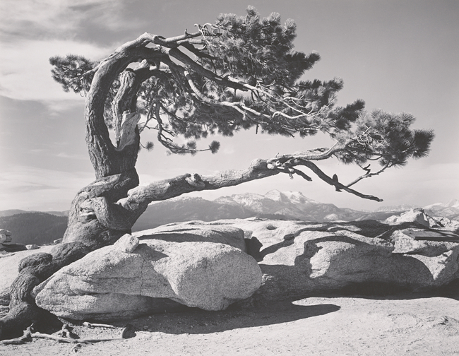 Jeffrey Pine, Sentinel Dome, Yosemite National Park, California